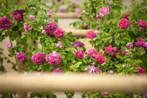The-Scent of Roses in Nova Gorica