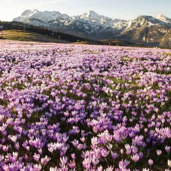 Every spring, millions of crocuses bloom on the fields of Velika planina in Slovenia.    #ifeelsLOVEnia #mojaslovenija #sloveniaoutdoor   Photo by @domagojsever.